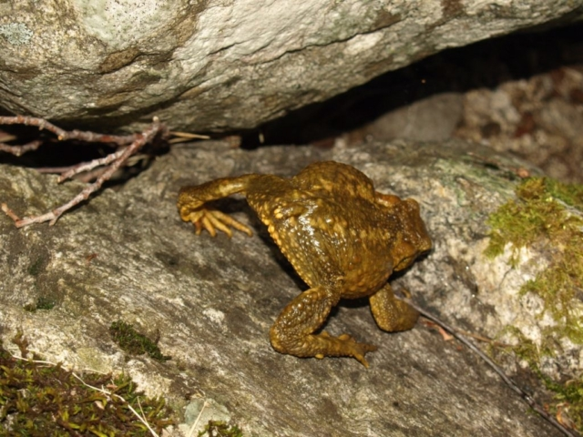Bufo spinosus defensa