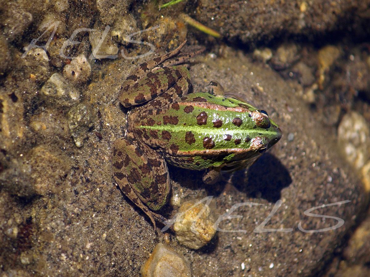 adulto detalle Pelophylax perezi