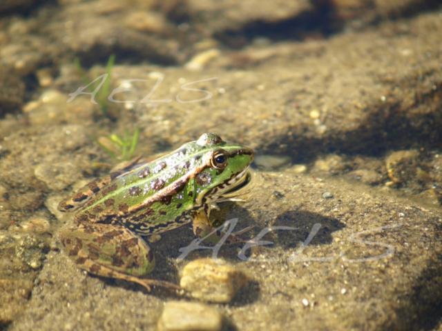 adulto rana verde posición de caza