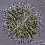 Micrasterias papillifera 40X DIC g