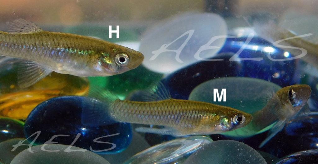 Gambusias en acuario