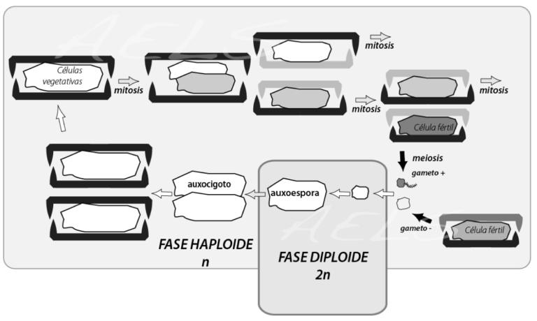 Diatomeas reproduccion asexual definicion