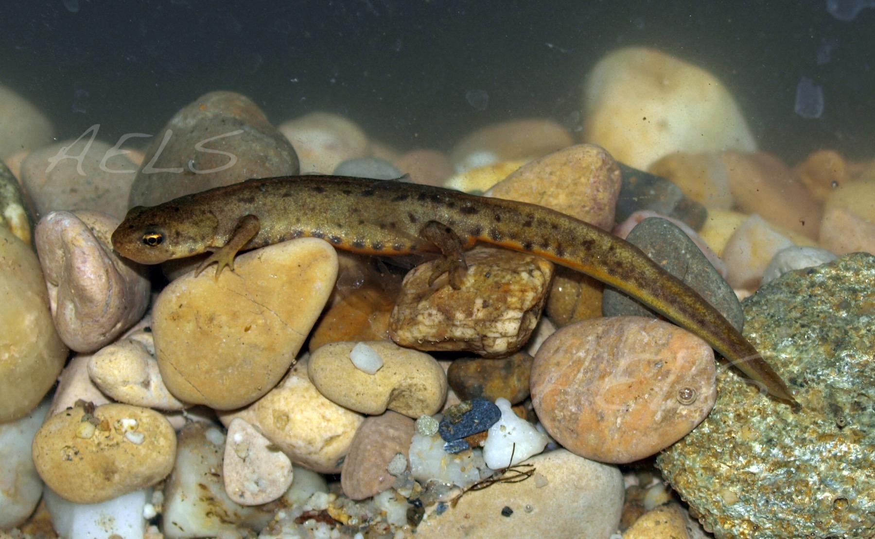 Lissotriton boscai (acuario)