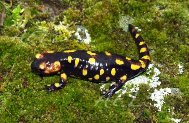 Hembra de Salamandra salamandra
